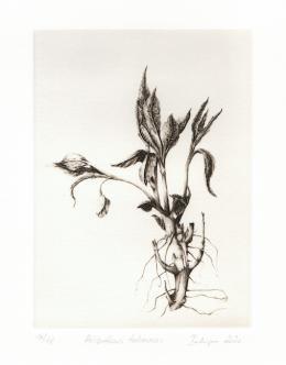 Melanie Berlinger: Helianthus tuberosus