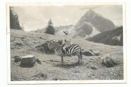 Das scheue Zebra (c) Bernhard Garnicnig/Bildrecht